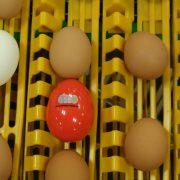 Wireless egg node on conveyor 2
